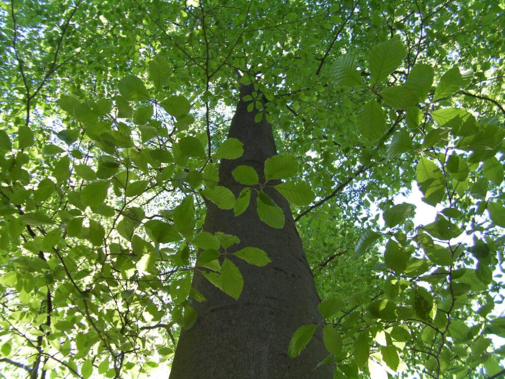 Baum Buche zweifeln